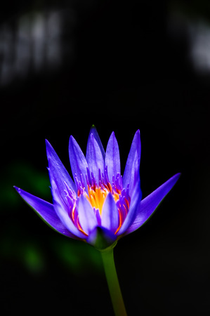 waterlilly: Beautiful Closeup of a Lotus Flower or Waterlilly