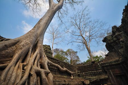 wide angle lens: Banyan tree growing on Ta Prohm temple taken in Siem Reap, Cambodia with wide angle lens