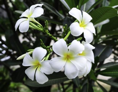 white plumeria in the garden