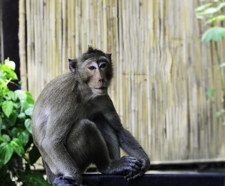 monkey with bamboo wall Stock Photo