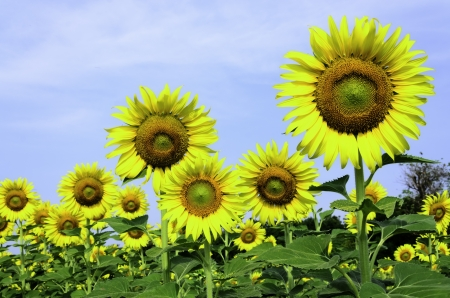 Sunflowers in the Botanic Garden for relaxation