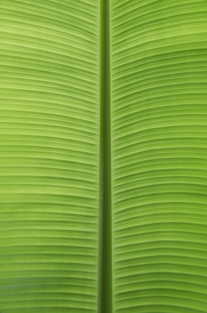 Green banana leaves use for the background photo