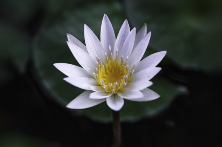 White lotus and green leaves in the pond