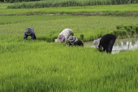 rice farmer photography Stock Photo