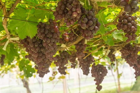 grape wine Stock Photo