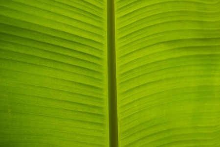 banana green leaf in the garden photography