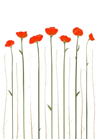 Beautiful Red Poppies Illustration Vector