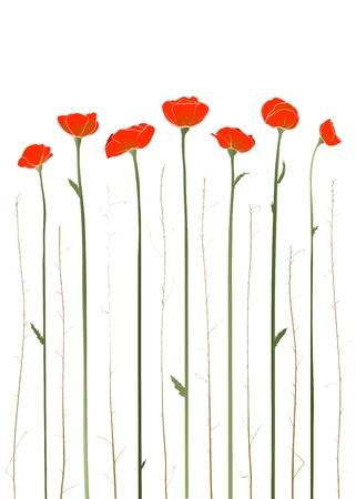 amapola: Ilustración Hermosa Red Poppies