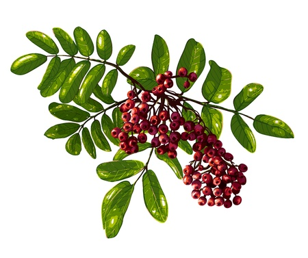 ashberry: Ashberry Branch Composition with Berries and Leaves   Illustration