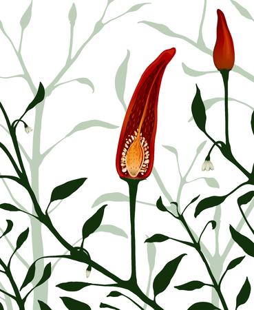 chilli pepper: Botanical Red Chilli Pepper Section Plant  Vector EPS8 hot chilli plant