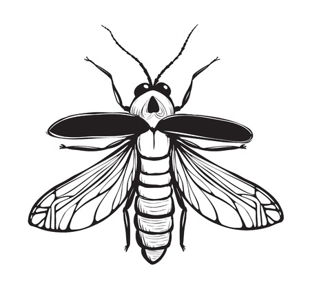 firebug: Firefly Insect Black Inky Drawing  Bug glowworm or lightning bug illustration