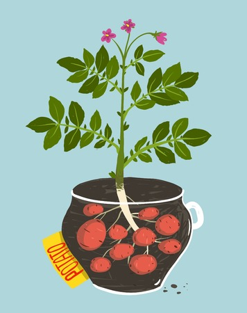 potato plant: Growing Potato with Green Leafy Top in Pot  Vegetable container gardening illustration  Layered vector EPS8