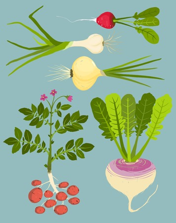 potato plant: Growing Root Vegetables with Greens Collection Illustration