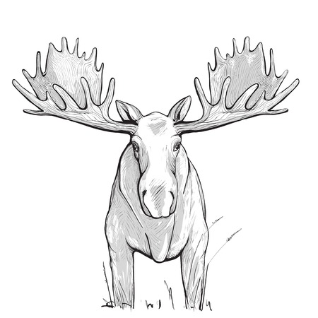 elk horn: Moose Illustration. Animal drawing. The moose has white undercoat.  Illustration