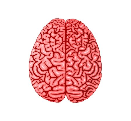 Human brain anatomy realistic flat vector illustration Ilustrace