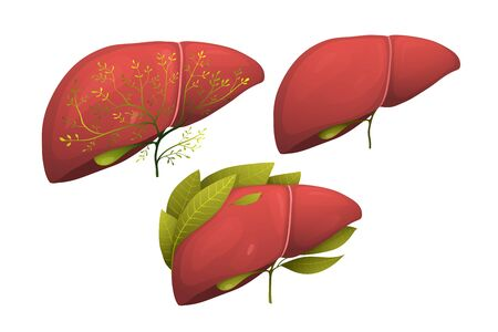 Human Organ Liver Healthy decorated with florals. Healthy Liver internal organ anatomical vector illustration. Collection of human liver realistic vector.