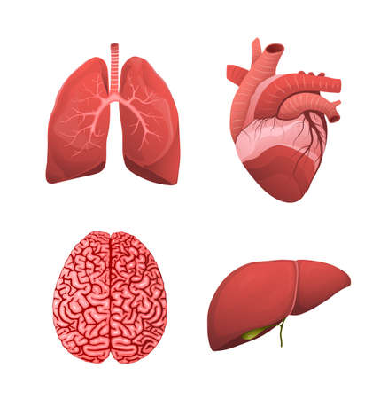 Healthy human organ healthcare realistic illustration. Lungs, heart, brain and liver clipart for medicine healing and pharmaceutical. Vector isolated objects. Ilustração