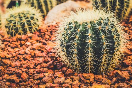 Cactus in the farming garden with soil background