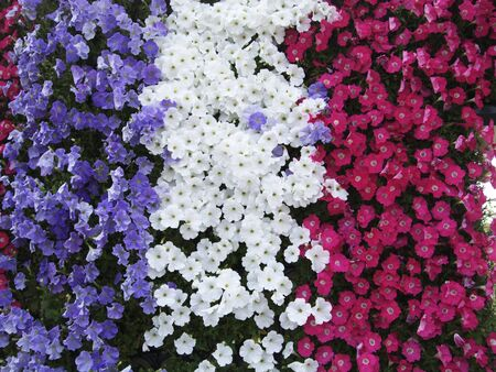 Petunia Clusters