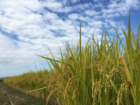 Rice and blue sky