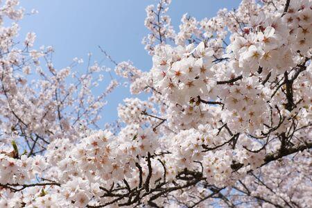 Sakura 版權商用圖片 - 129344460