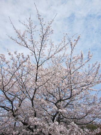 Sakura Foto de archivo - 129344529