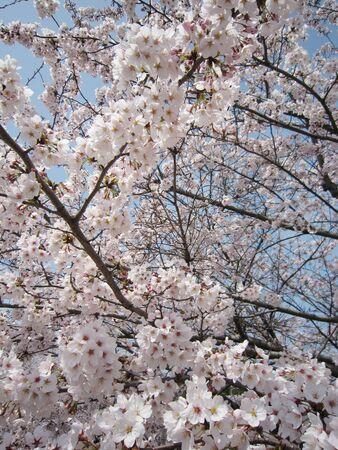 Sakura 版權商用圖片 - 129344590