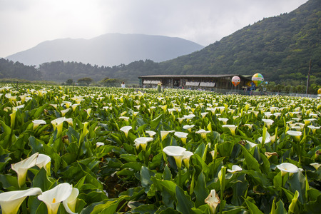 Bamboo Lake calla