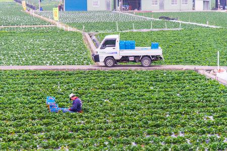 Strawberry picking ,Miaoli Taiwan -February 25 ,2018:Many tourists are picking strawberries