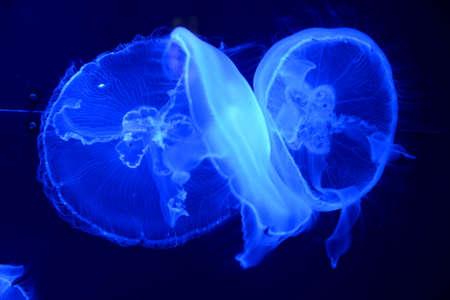 Beautiful Jellyfish in the aquarium