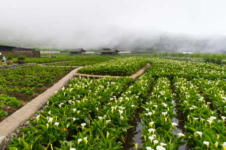 Alocasia field in Zhuzihu, Taipei, Taiwan