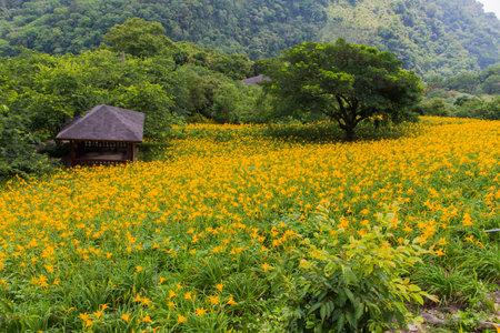 Beautiful daylily in Taichung, Taiwan 免版税图像