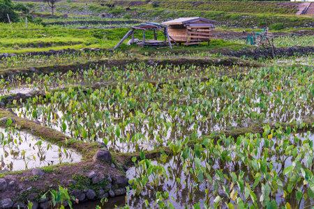 The vast taro fields of Lanyu