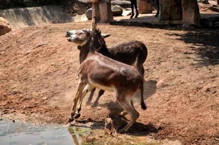 Donkey fight Imagens