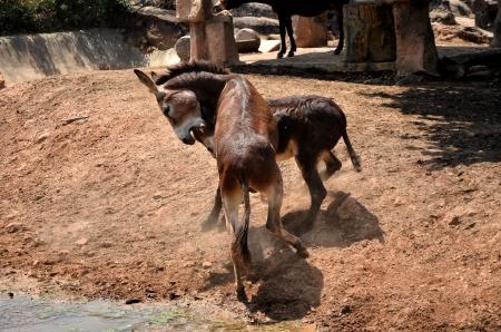 ass christmas: Donkey fight Stock Photo