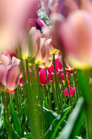 the view from below: Bright pink tulips, view from below, close-up