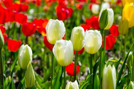 bloemen wit zwart: Spring flowers, white and red tulips in the garden Stockfoto