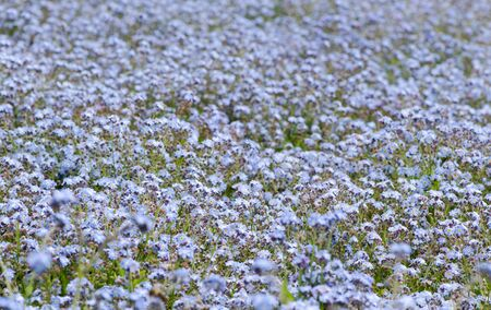 delicate: Forget-me-not,  delicate spring flowers, blue flowers background