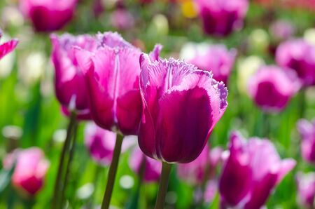 felicitation: spring flowers, bright lilac tulips in the garden on a sunny day