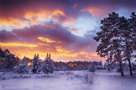pino: escena de invierno, bosque de la nieve al amanecer, cielo multicolor al amanecer Foto de archivo