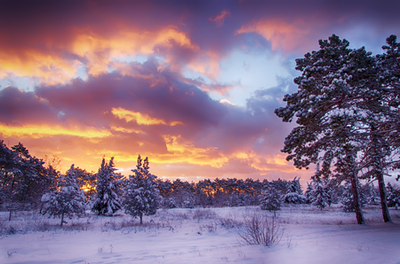 the trees covered with snow: winter scene, snow forest at dawn, multicolored sky at sunrise