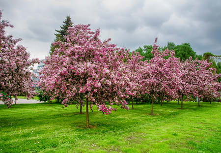 summer trees: flowering trees in the park white night, summer Stock Photo