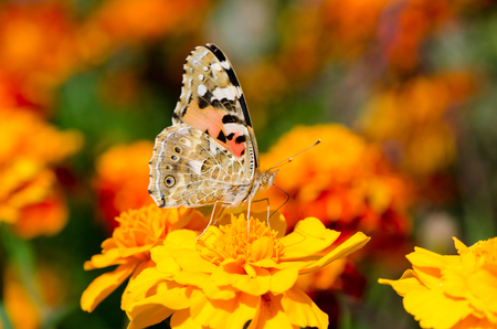 remedial: colors of autumn, butterfly sits on a flower marigold Stock Photo