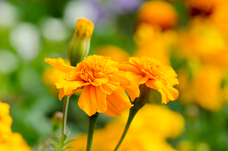 remedial: marigolds, bright flowers close up, natural background
