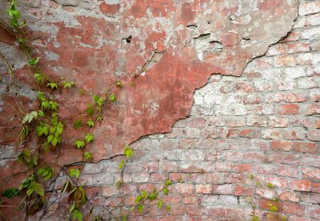 climbing plant: background, old brick wall with green climbing plant