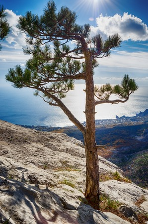 cliff top: landscape, lonely pine tree on a cliff top in the sun