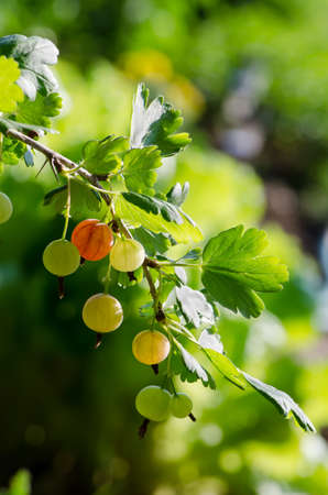 bush to grow up: gooseberries on a branch close-up, summer berries Stock Photo