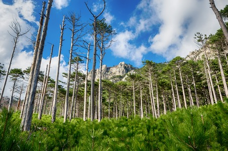 kaya: Young pine forest on the background of rocks and old pine trees, Shaan - Kaya, Crimea,  Russia
