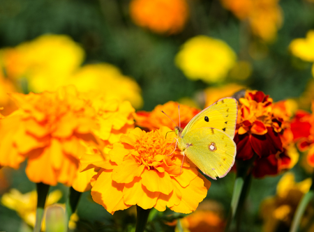 flew: Yellow butterfly on bright flowers on a sunny day Stock Photo