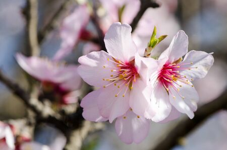 day flowering: Flowering almond, pink flowers on a bright sunny day